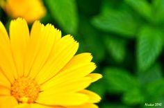 Yellow Daisy #Flower