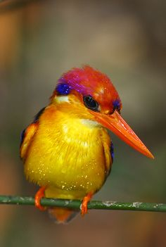 Black-backed Kingfisher | da kampang