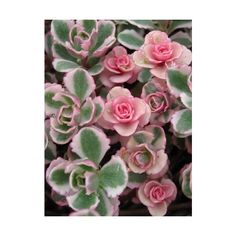 Tiny Roses Sedum spurium 'Tricolor