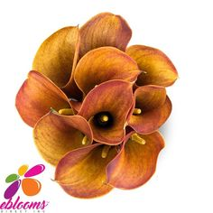 You will receive an orange Mini Callas for your special event. The elegant sleek shape of the Calla, will allow you to design a simple, yet magnificent, high-end contemporary design.  Features:  ✔ 10 Stems Minicallas 20 inches/50cm ✔ Box contains: 8 Bunches 10 stems ✔ Gift Message available