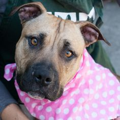 Hi I'm Ashley, I'm a quiet, sensitive girl. At first I seem a little shy, but there is nothing I like more than some gentle pets. I share a kennel with a doggie friend, so I might be apt to get on well with other dogs. I'm probably about two years old and have gorgeous colors (I look like a mix of German Shepard and Pit Bull). I'm treat motivated and would love to train with you. If you are looking for a sweet lover girl, come meet me soon! Ashley is ACR# 21970 at Oakland Animal Services.