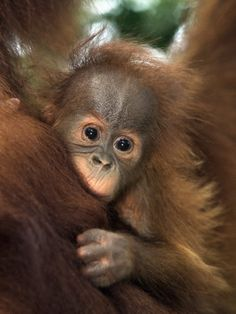 An endangered baby Sumatran orangutan clings to its mother before living a more solitary life to the age of 50.