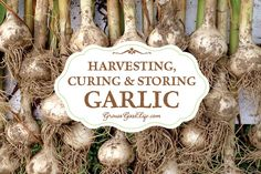 Learn how to harvest garlic at peak and cure before storing for long lasting garlic bulbs.