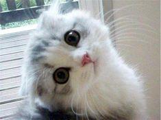 Aaaaaaahhhhh!!!!!!!!!! Scottish fold kitten!!!!!!! IM DYING!!!!!!!