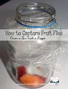 how to capture fruit flies in a bottle