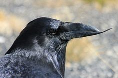 Common Raven (Corvus corax) With Beak Deformity. (Called 'avian keratin disorder', cause unknown.)