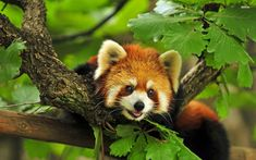 Learn about the amazing life of Red Pandas, a rare white & red panda from Eastern Himalayas and Southwestern China.