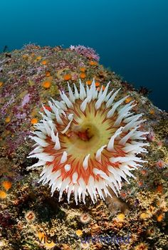 Fish-eating Sea Anemone