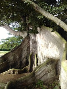 400 year old Ceiba tree!!