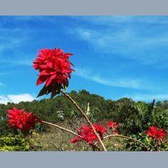 Flores Vermelhas e o Céu Azul  Passa Quatro - Minas Gerais