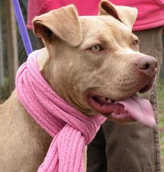 05/04/15 sl ~~Champagne~ Pit Bull Terrier Mix • Young • Female • Medium Sea Dog Rescue Elizabeth City, NC
