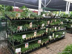 Marin tomatoes selection at west end nursery in San Rafael Marin Tomatoes are among the most delicious and spring time is tomato time in Marin County gardens. Read this article about my tomato garden. #tomato #garden #gardening #planting #heirloom #tomatoes