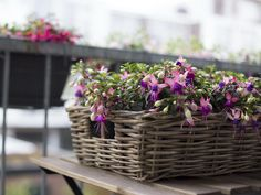 #Bella #Fuchsia #Mariska #balcony #garden #plant #flowers