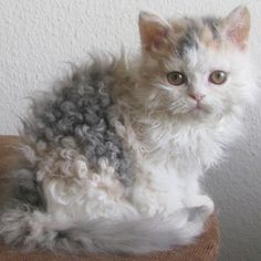 ♥️Poodle cats could be the new rage for feline fans. of breeding has resulted in a new breed of curly haired cat called The Selkirk Rex // Photo via Web Cute Kittens, Cats And Kittens, Persian Kittens, Tabby Cats, Siamese Kittens, Cats Bus, Bengal Cats, Curly Haired Cat, Curly Cat