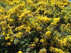 Chorima, flor de toxo en Muxía #Costadamorte #CaminodeSantiago