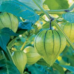 Gardening and cooking with tomatillos - Sunset.com