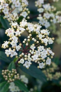 Viburnum tinus 'Eve Prince. Evergreen shrub grown for its dense dark green foliage and flowers which appear over a long period from late winter to spring. The pink flower buds open to tiny, star-shaped white flowers, carried in flattened heads and these are followed by small dark blue-black fruits. It is shade-tolerant.