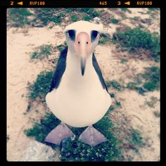 An Albatross After Your Heart, photo by Jaymi Heimbuch on the Midway Atoll