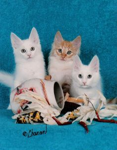 Angora kittens - look at those ears!!