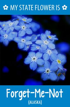 #Alaska's state flower is the Forget-Me-Not. What's your state flower? http://pinterest.com/hometalk/hometalk-state-flowers/