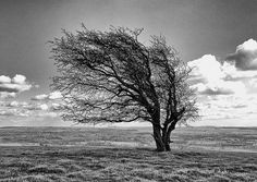 Windswept tree on Knapp Hill on the Wiltshire downs