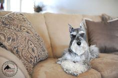 To My Remington Schnauzer – Kansas City Dog & Pet Photography » Kansas City Dog & Pet Photography, Maternity & Baby Photography by Jennifer Starr