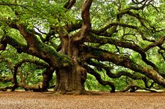 """1500-year old """"Angel Oak"""" (Charleston, SC) is reportedly the oldest living thing east of the Rockies - ©Louis Dallara - (via FineArtAmerica)"""