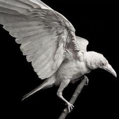 White raven                                                                                                                                                                                 Mehr