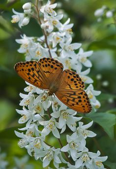 Argynnis paphiab butterfly