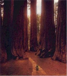 Red Woods; will see them one day