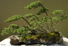 Weyerhauser Bonsai Garden, Federal Way, Washington