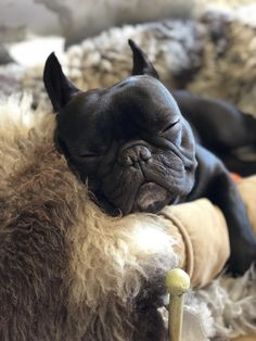 The major breeds of bulldogs are English bulldog, American bulldog, and French bulldog. The bulldog has a broad shoulder which matches with the head. Cãezinhos Bulldog, French Bulldog Puppies, French Bulldogs, Frenchie Puppies, Funny Bulldog, Cute Puppies, Cute Dogs, Dogs And Puppies, Doggies