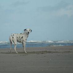 #dalmatian   #dalmatiansofinstagram   #dalmatians_of_instagram   #dalmata   #dalmatians   #dalmatianspotlight   #dog   #dogsofinsta   #dogsofinstagram   #igdogs   #ruffpost   #beachtime   #beachdog   #beachlife   #dogstagram   #petstagram   #myfriend   #mydog   #mydogiscutest   #dog   #pets   #dogsandpals   #doglovers   #doglife   #dogofinstagram   #dog_features   #dalmatian_feature   #dogbeach   #pet   #dogscorner