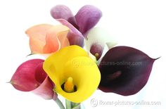 And, Pictures Of Calla Lilies Flowers