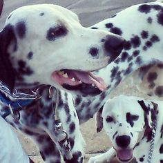 Hello Friends  #dalmata  #dalmatas #dalmatian #dalmatian  #dalmation  #dalmatianlove  #dalmataslove  #dalmatasbrasil  #dalmatians_of_instagram  #instapet #instadog #cachorros #brasil #Cuiaba #matogrosso  #amomeudalmata by apolloemeg #lacyandpaws
