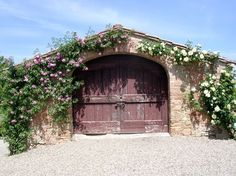 Climbing Roses in Tuscany