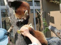 Red pandas at Maruyama Zoo in Hokkaido, Japan