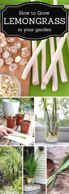 How to grow Lemongrass in a garden. #Vegetablegardenbasics