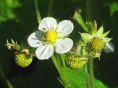 Jarðarber – Wild Strawberry – Fragaria vesca
