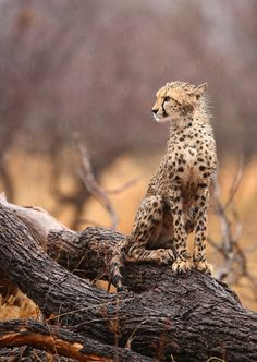 Wet Cheetah Cub by Ryan Jack