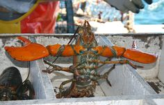 Fiesty lobsters are fresh lobsters !