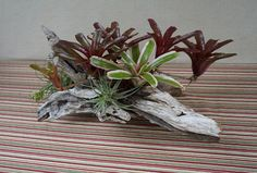 Wood planter with tropical bromeliads Driftwood Centerpiece, Driftwood Planters, Tropical Centerpieces, Beautiful Compliments, Tropical Plants, Air Plants, Mists, At Least, Outdoor