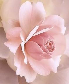 ♥ this color and the delicacy of the way the petals lie..