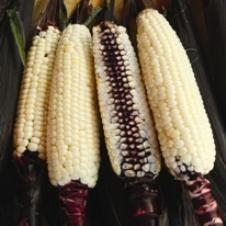 Corn, Martian Jewels Sweet  Quick Facts