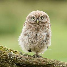 Little Fuzzy Owl