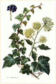 Ivy featured on a vintage botanical illustration. www.mythologymagazine.com
