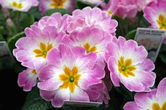 Primroses bloom late winter/early spring and come in a huge variety of colors.