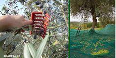 Μάζεμα της Ελιάς - Συμβουλές για τη Συγκομιδή των Ελαιοκάρπων Flowers, Blog, Tape, Blogging, Royal Icing Flowers, Flower, Florals, Floral, Blossoms