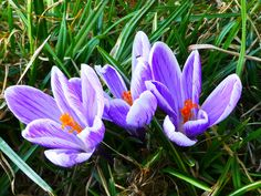 Forest Crocus - part of the iris family, oils made from the Iris root is one of the most expensive Perfume ingredients due to the time and volume required to produce the oil.