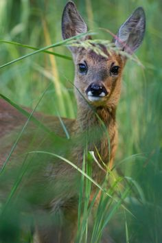 Roe deer fawn peeping through long grass near a Carp lake in the warm climate and tranquil limousin valley in France Canadian Animals, Canadian Wildlife, Marine Ecosystem, Roe Deer, English Heritage, Limousin, French Countryside, Animals And Pets, Wild Animals